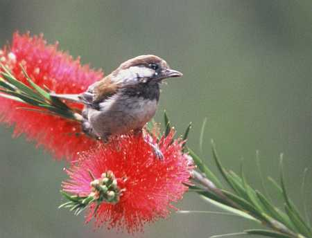 Chestnut Backed Chickadee.jpg